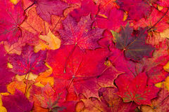 Autumn maple leaves background Stock Photography