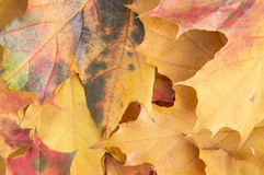 Autumn maple leaves background. Close up Royalty Free Stock Images