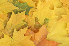 Autumn maple leaves. Background close up Stock Image