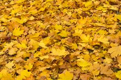Autumn maple leaves background royalty free stock photos