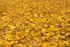 Autumn maple leaves background stock image