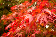 Autumn maple leaves background Royalty Free Stock Photo
