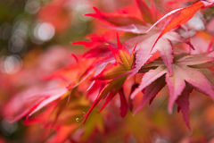 Autumn maple leaves background Royalty Free Stock Image