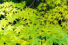 Autumn maple leaves background. Yellow foliage texture Royalty Free Stock Photos