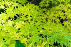 Autumn maple leaves background. Yellow foliage texture Stock Photo