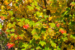 Autumn maple leaves background. Yellow and red foliage texture Royalty Free Stock Photos