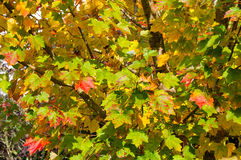 Autumn maple leaves background. Yellow and red foliage texture Stock Images