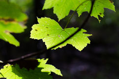 Autumn maple leaves. Beautiful still green autumn leaves in sunlight Royalty Free Stock Images