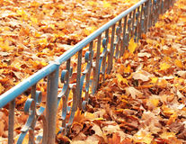 Autumn maple leaves. Maple autumn leaves and blue frame Royalty Free Stock Photography