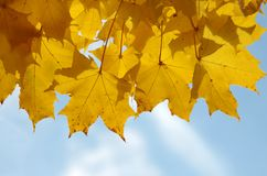 Autumn maple leaves and blue sky Royalty Free Stock Images