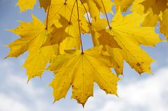 Autumn maple leaves and blue sky Stock Photography