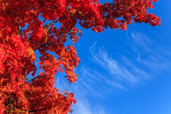 Autumn maple leaves. With the blue sky background Stock Images
