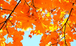 Autumn maple leaves and  blue sky background Royalty Free Stock Photos