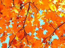 Autumn maple leaves and  blue sky background Stock Image