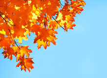 Autumn maple leaves and  blue sky background. Outdoor Stock Photos