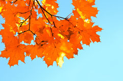 Autumn maple leaves and  blue sky background Stock Photo