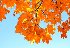 Autumn maple leaves and  blue sky background Stock Photography