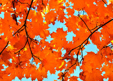 Autumn maple leaves and  blue sky Royalty Free Stock Photography