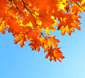 Autumn maple leaves and  blue sky Royalty Free Stock Image