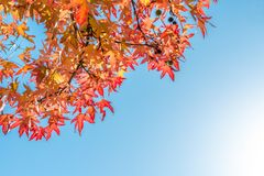 Autumn maple leaves and blue sky with copy space, autumn background royalty free stock images