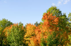 Autumn maple leaves blue sky yellow 13 Stock Images