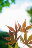 Autumn Maple leaves blur background Stock Photo