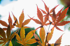 Autumn Maple leaves blur background Stock Photography