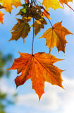 Autumn maple leaves. Branch of autumn maple leaves Stock Photography