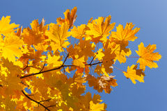 Autumn maple leaves. Branch on blue sky Royalty Free Stock Photos