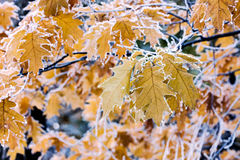 Autumn maple leaves on branch covered with hoarfrost Stock Photos