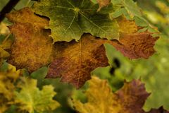 Autumn maple leaves on a branch royalty free stock photos