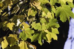 Autumn maple leaves on branch with sun shining on them stock photography