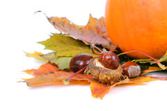 Autumn maple leaves with chestnuts and pumpkin Stock Image