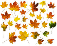 Autumn Maple Leaves with Clipping Paths Stock Photography