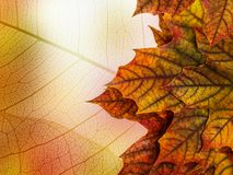 Autumn maple leaves. Close up stock photos