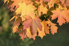 Autumn maple leaves. Close up Royalty Free Stock Photo