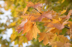 Autumn maple leaves. Close up Royalty Free Stock Photography