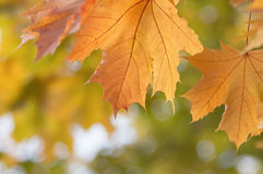 Autumn maple leaves. Close up Stock Image