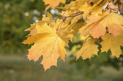 Autumn maple leaves. Close up Royalty Free Stock Image