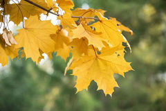 Autumn maple leaves. Close up Stock Photo