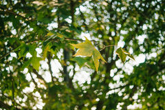 Autumn maple leaves. Close-up and light point bokeh in the background Stock Image