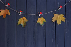 Autumn maple leaves on a clothes line Royalty Free Stock Image