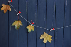 Autumn maple leaves on a clothes line Stock Photos