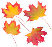 Autumn Maple Leaves Collection Royalty Free Stock Images