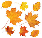 Autumn maple leaves collection, object set on white. Autumn maple leaves collection, object set isolated on white Royalty Free Stock Image