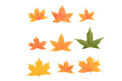 Autumn maple leaves. Colorful autumn maple leaves border. Isolated on white background stock photos