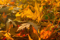Autumn maple leaves covering the forest ground Stock Photography
