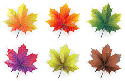 Autumn maple leaves. With  dew drops on a white background Royalty Free Stock Image