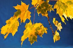 Autumn maple leaves, different colors of yellow, gold and green against the blue bright sky, royalty free stock photos