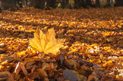Autumn maple leaves Royalty Free Stock Photo